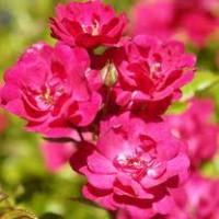 Roseira-rubra