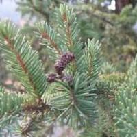 Picea-europeia