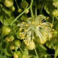 Tília-de-folhas-pequenas